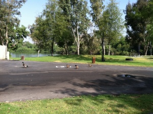 On our nature walk today, I saw ducks playing follow the leader.
