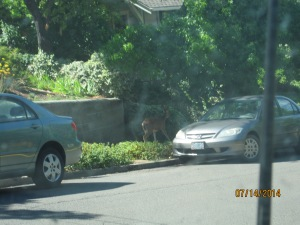 I don't know if you can see, but there was a deer at someone's front yard.